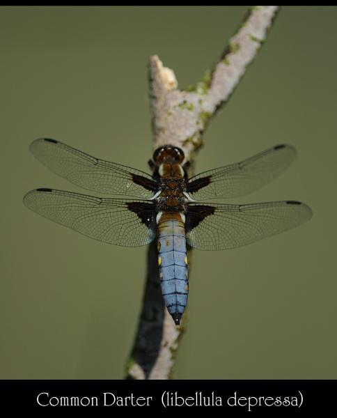Common Darter by maroondah