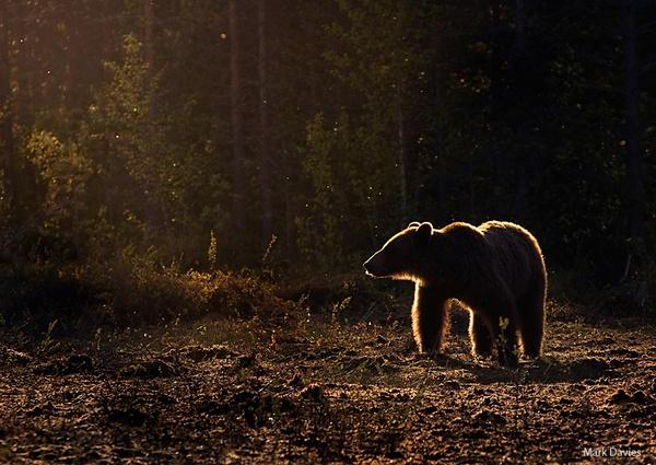 Brown Bear by Enmark