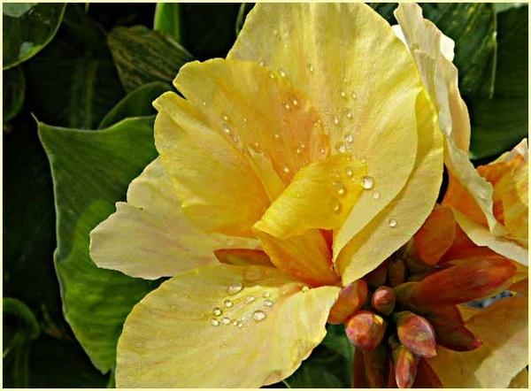 Canna Lily by csopi