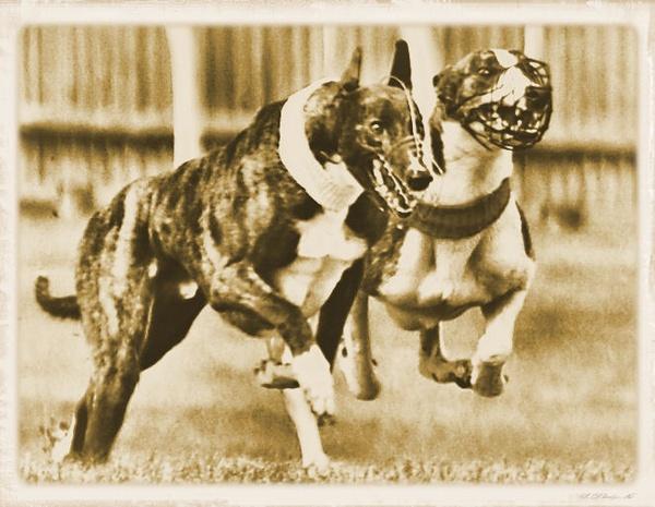 Greyhounds by Alexanderdiplock