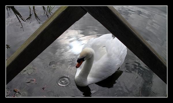 Swan ripples by EG