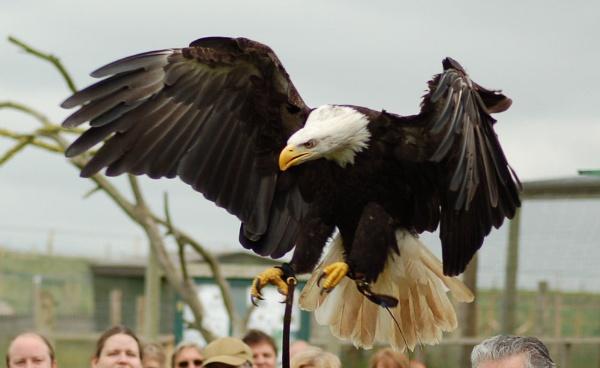 Bald Eagle by striker1998