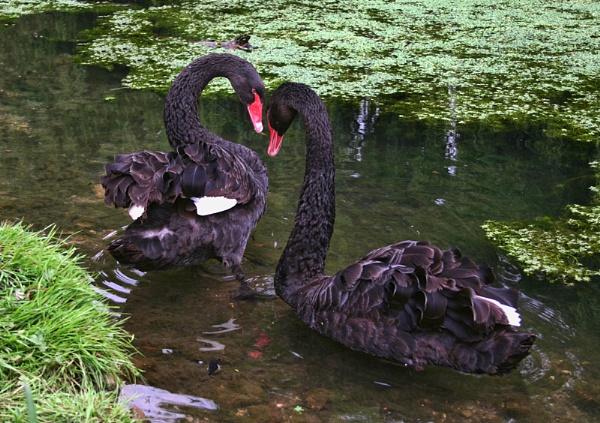 Black Swans by GordonLack