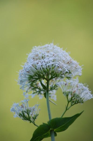 White wild flower by Bearspirit29
