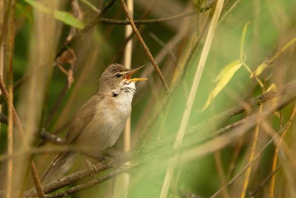 Reed Warbler by dewie