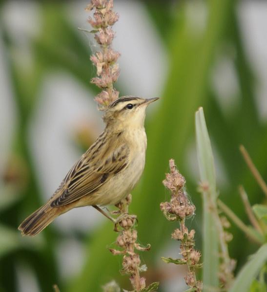 Sedge Warbler by dewie
