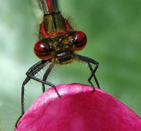 Red Damselfly. by rpba18205