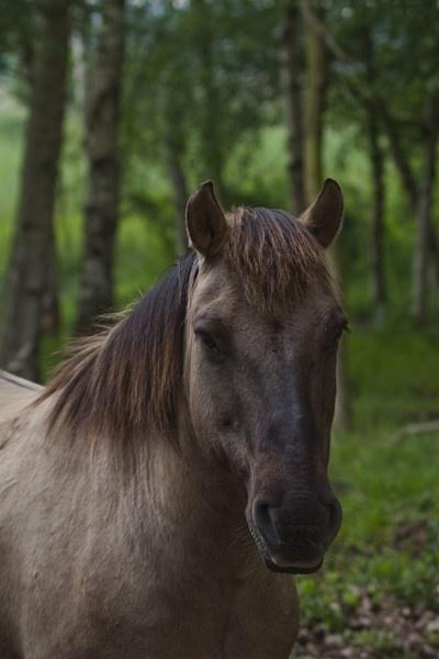 Konik Pony by RichieL