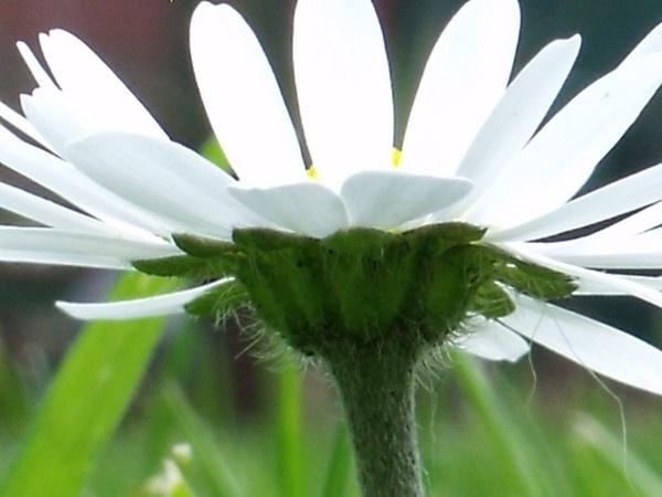 daisy by kibp
