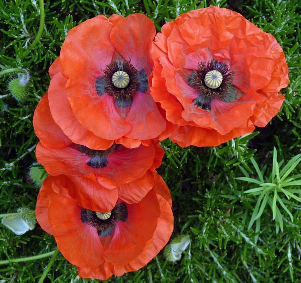 Poppies in my garden by kittlekottage