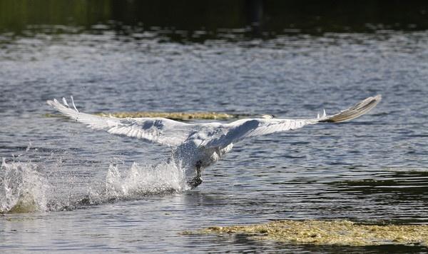 AERO DYNAMIK   Male Mute Swan by darren41