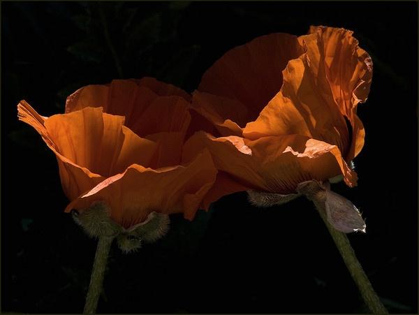 poppy love by dormay