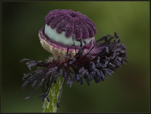 poppy by dormay