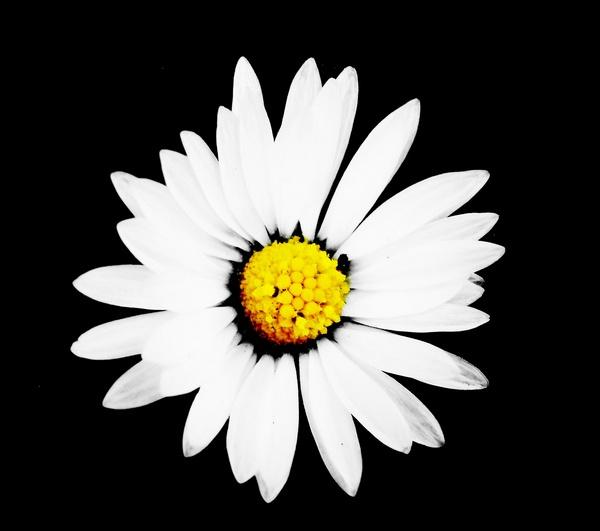 Vibrant Daisy by RoxyMoo