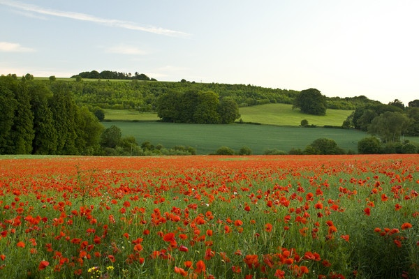 Poppy Field by mark_wood