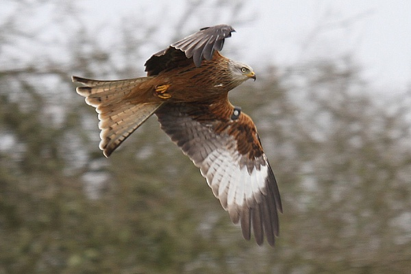 Red Kite by Louise_Morris