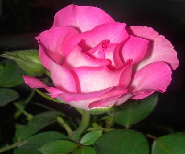 Pink Rose by sagari
