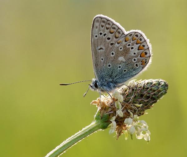 Common Blue by geoffrey baker