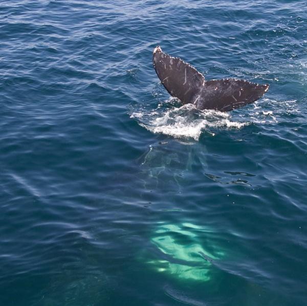 Whale Fluke by kaylesh