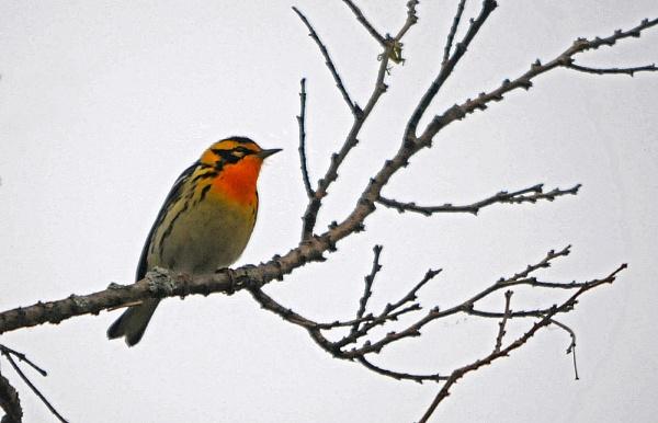 Blackburnian Warbler by mike