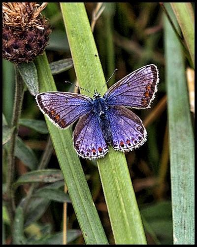 Blue Flutter By by Big_Beavis