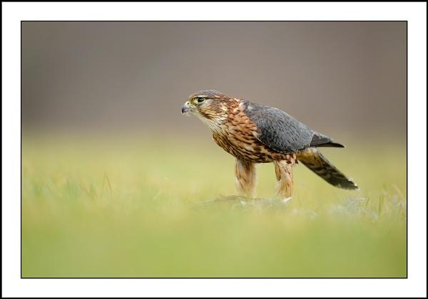 Merlin by csurry
