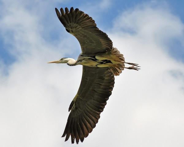 Grey Heron in Flight by philorme