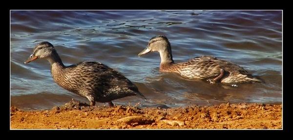 Ducks on Pond by willshot