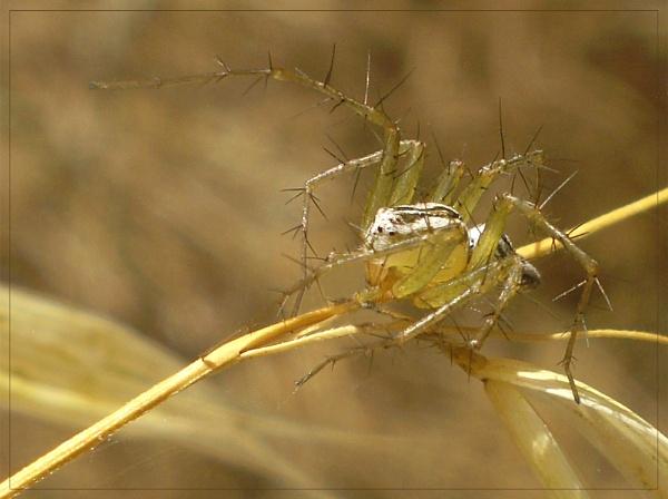 spiny spider by CarolG
