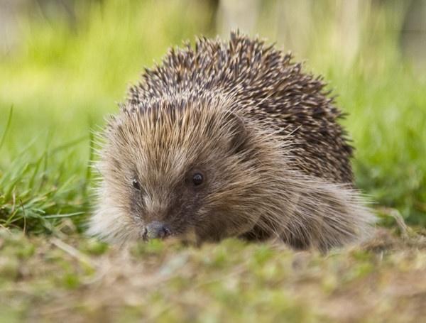 A Hedgehog by ednys