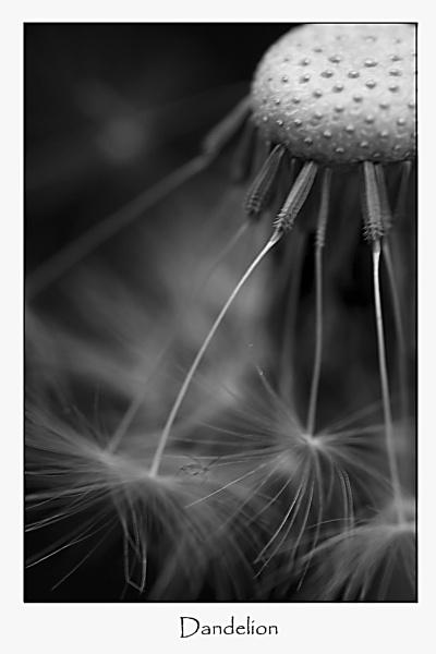 Dandelion by MandsH