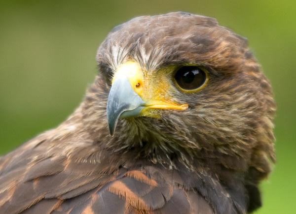 Harris Hawk by martinlmr