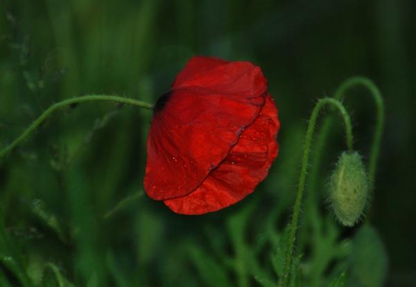 Night Poppy by nickyv32