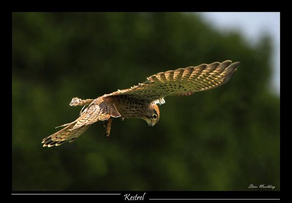 Hunting Kestrel by SteveMoulding