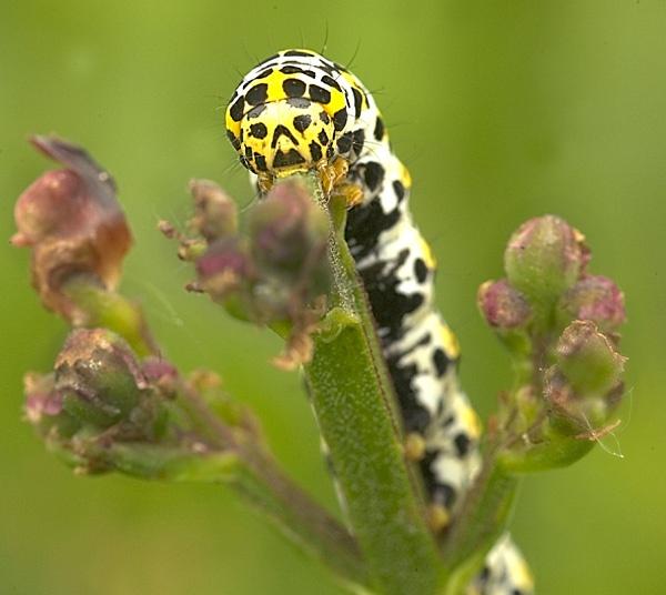 Mullein Moth (Cucullia Verbasci) by Dinney
