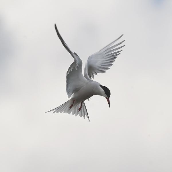 Tern by Icee