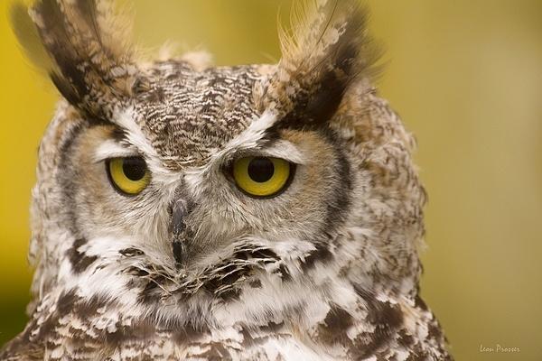 Owl Be Back!!!! by LeonSLR