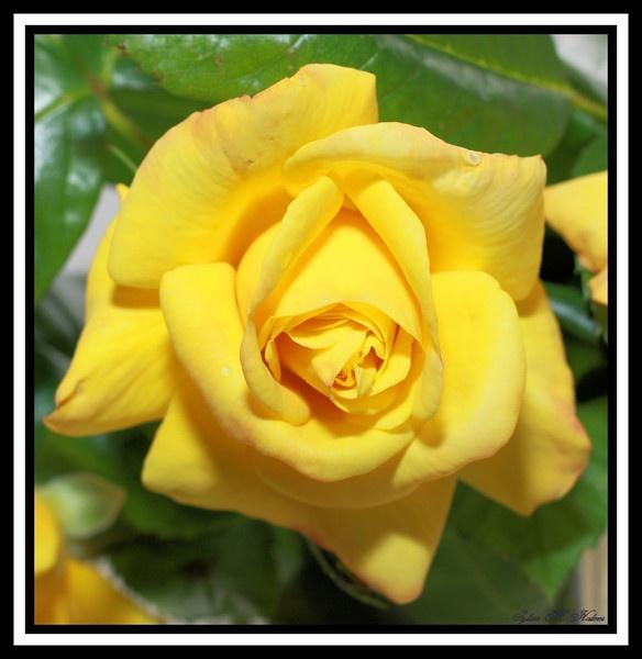 Yellow Rose by Ladynina