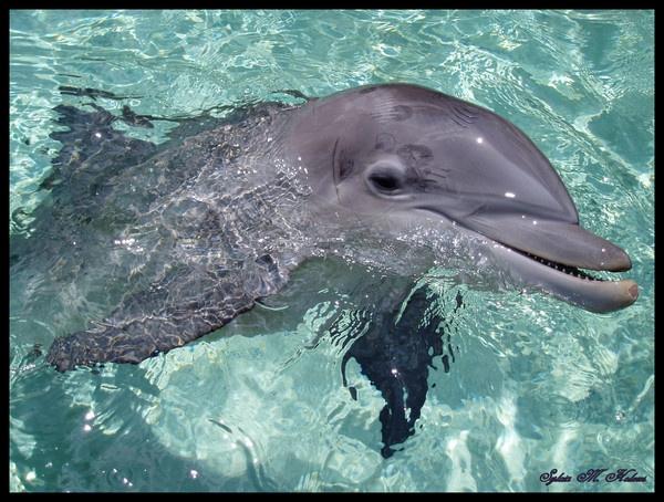 Dolphin by Ladynina