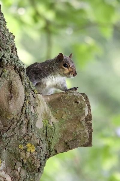 Squirrel by Sloman