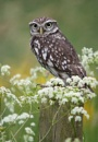Little Owl by Lorraine_Wallace