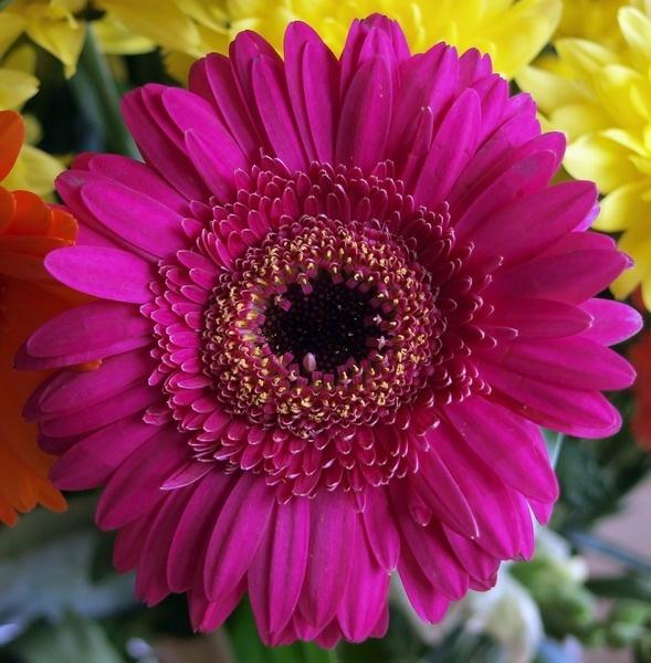 Mums Flower. by Xander_H