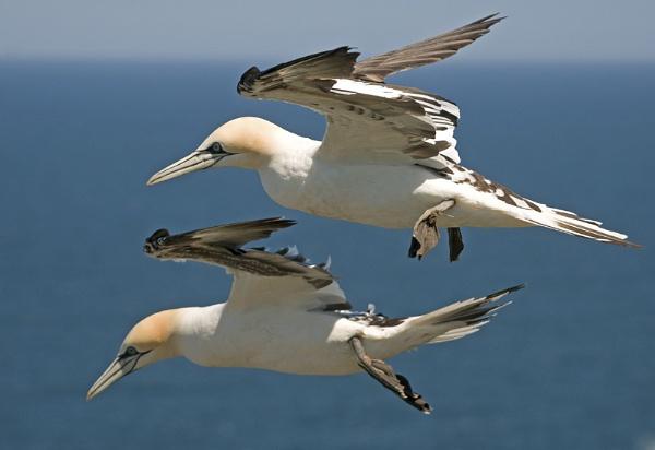 Gannets by NicolaCariad