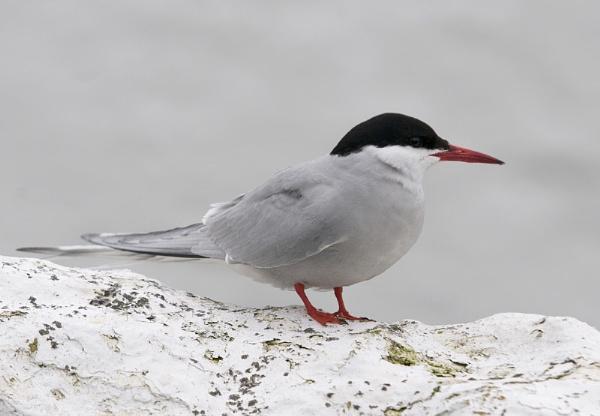 Arctic Tern by NicolaCariad