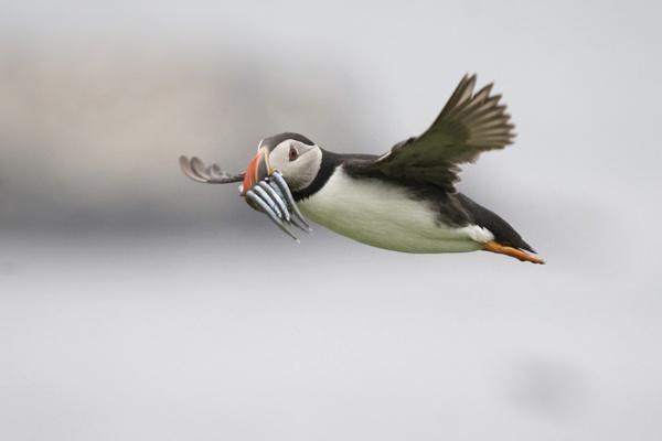 Puffin Flight by NicolaCariad