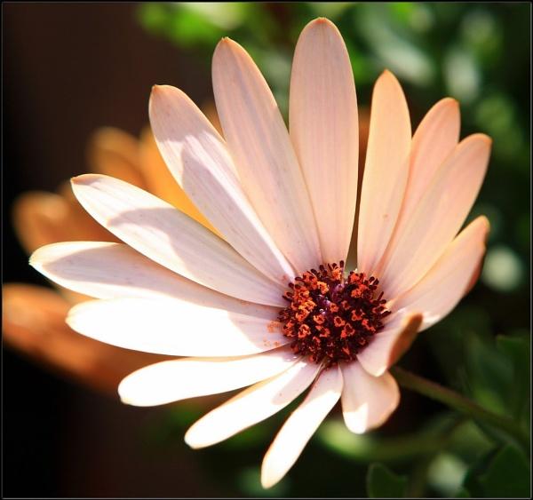Petals by In-Focus-Imaging