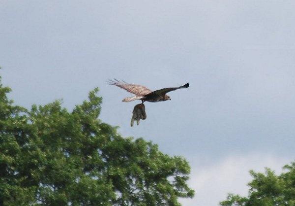 NOT so sharp buzzard? by brownbear