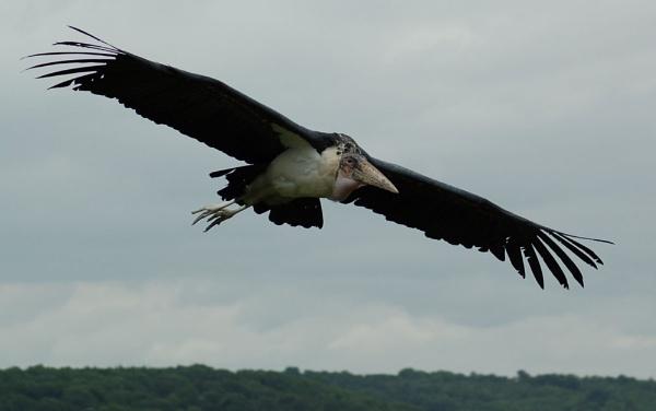 Marabou Stork by striker1998