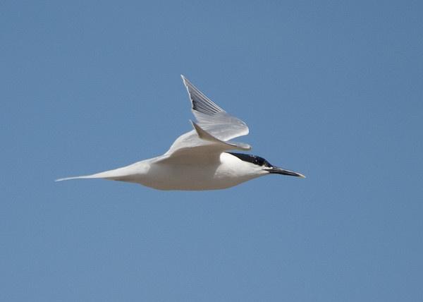 Sandwich Tern by Gio