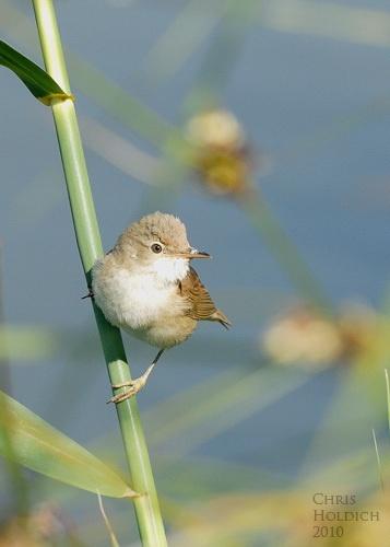 Reed Warbler by nikonhammer